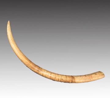 【象牙】原木一本牙