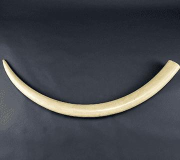 全形を保持した象牙(一本物)